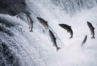 Northern Alaskan Salmon Oil naso11